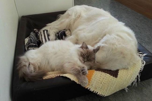 20 фото котиков, которые по уши втрескались в собак