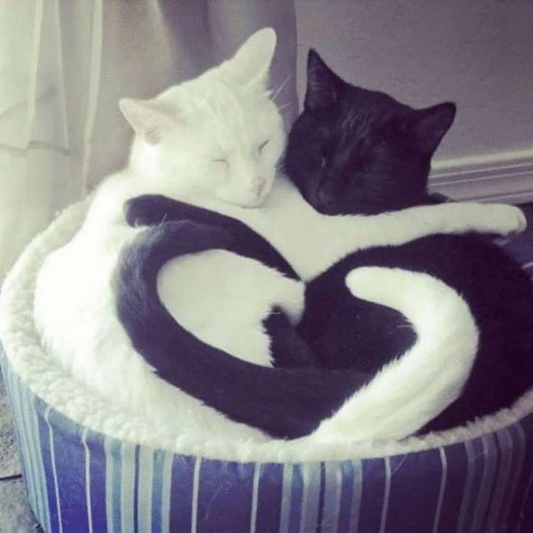 Черные и белые кошки инь и ян