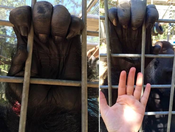 Рука обезьяны по сравнению с рукой человека