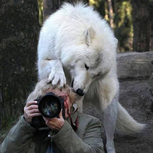 Волк и фотограф