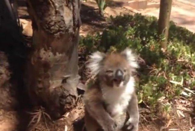 Сородич не пустил коалу на дерево и она забавно расплакалась