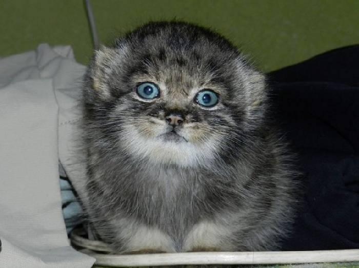 Котенка манула, рожденного в железнодорожном вагоне приютили люди, и он вырос в человеческой семье