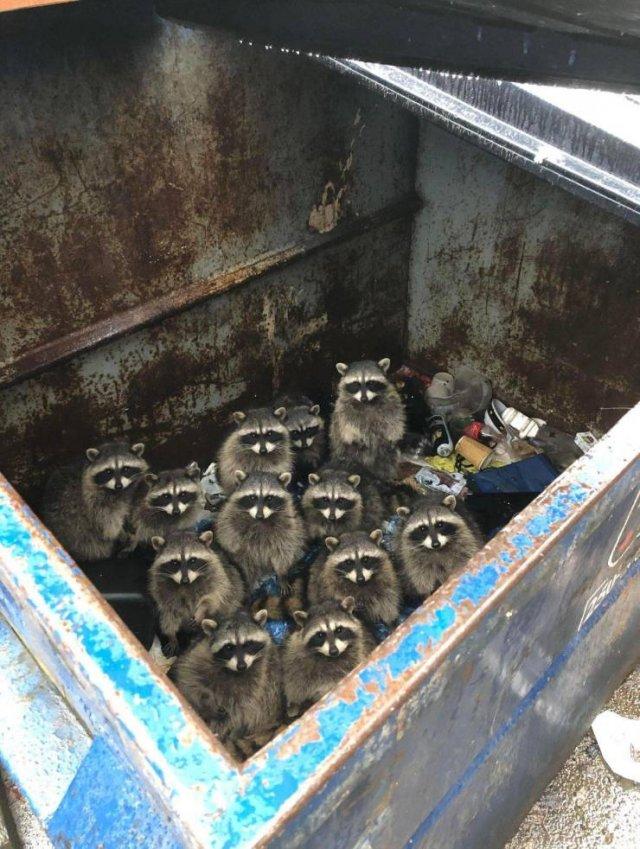 Еноты в мусорном баке
