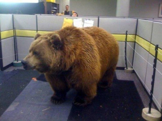 Медведь в офисе