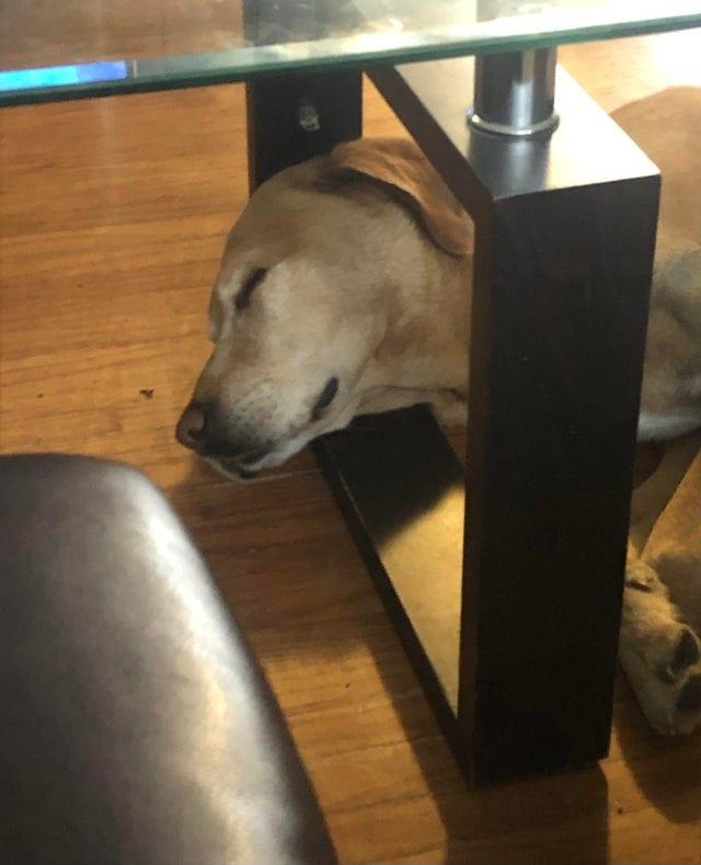19 сонных-пресонных собак с которыми так и хочеться прилечь рядом и вздремнуть часок-другой