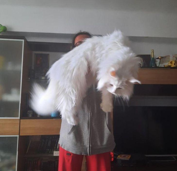 20 котиков, которые больше пушистые, чем огромные, и больше гигантские, чем мохнатые