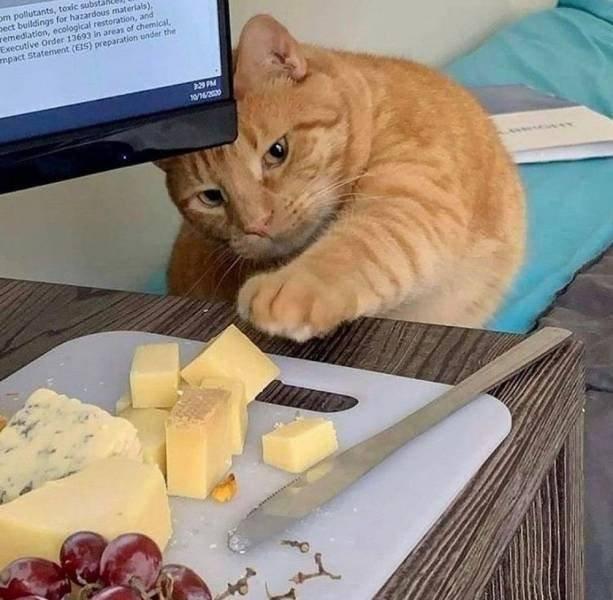18 усатых-полосатых котов, которые ради еды готовы на все, даже на кражу!