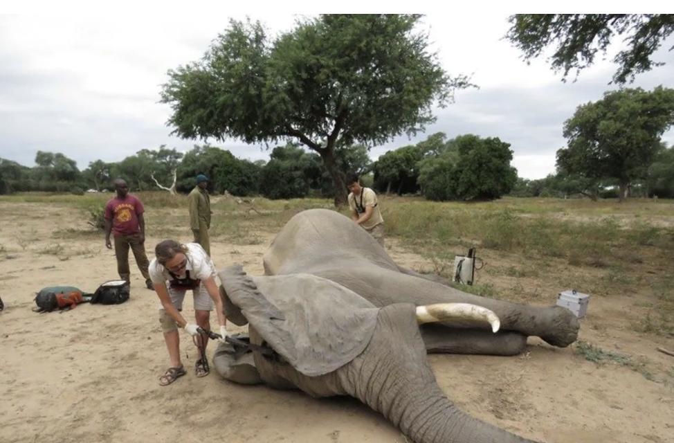 Раненый браконьерами слон пришел просить о помощи человека