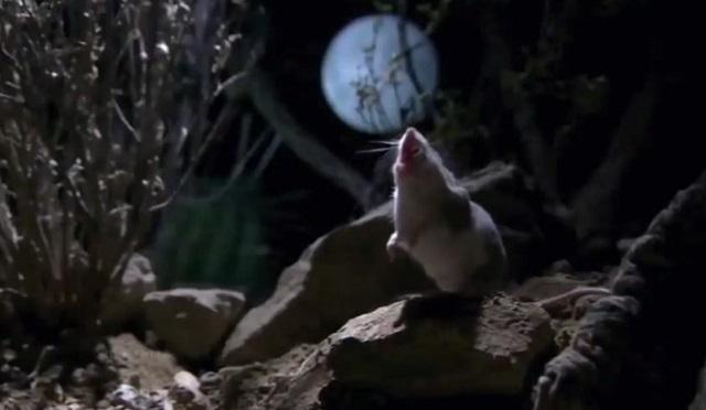 Кузнечиковый хомячок - маленький грызун, с которым лучше не связываться
