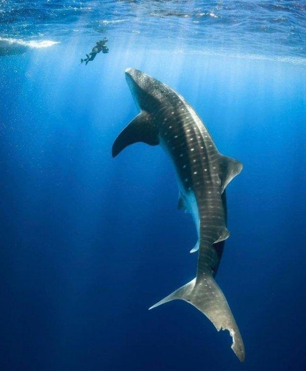 Размер китовой акулы по сравнению с дайвером