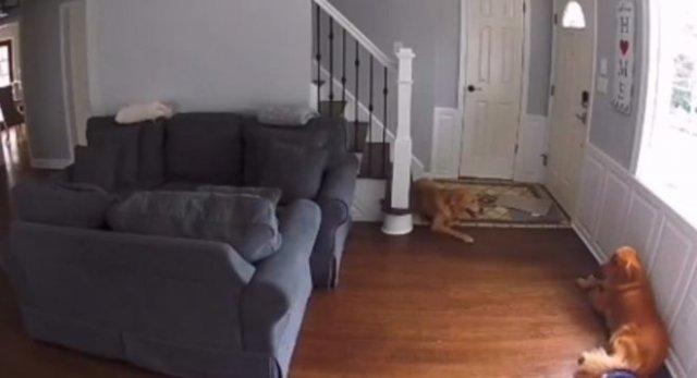 Зря оставили собак с роботом-пылесосом