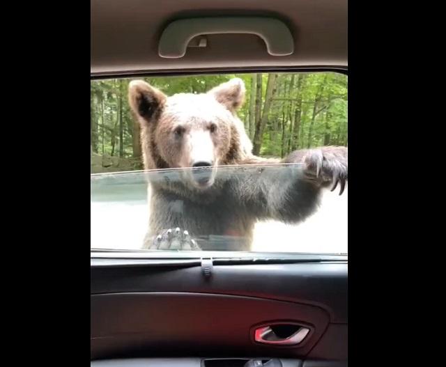 Встреча медведя-автостопщика с автоледи