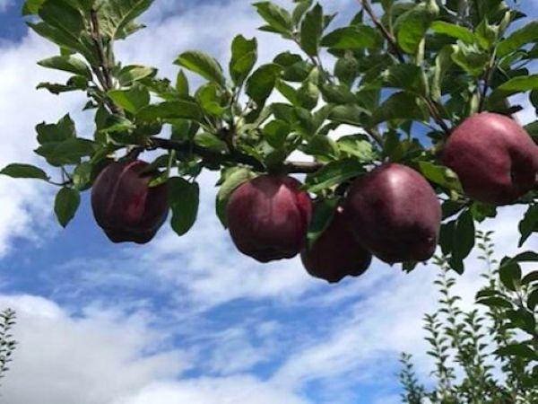 Редчайшие черные алмазные яблоки по цене ,5 баксов за штуку