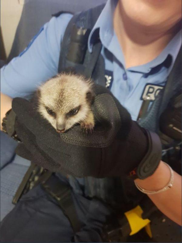 Парень украл малыша суриката из зоопарка, не устояв перед его обаянием