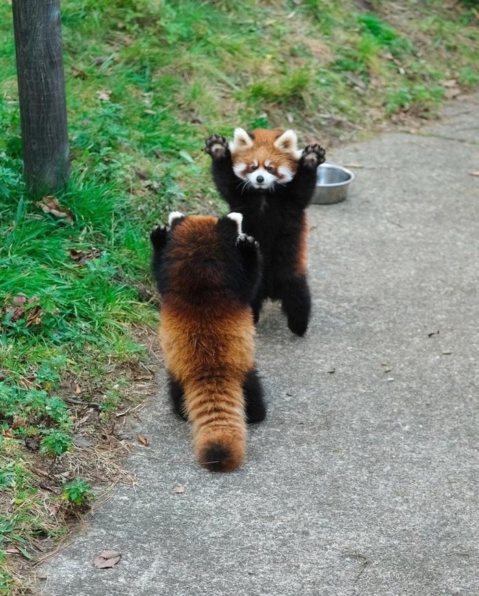 Лапы вверх, красные панды!