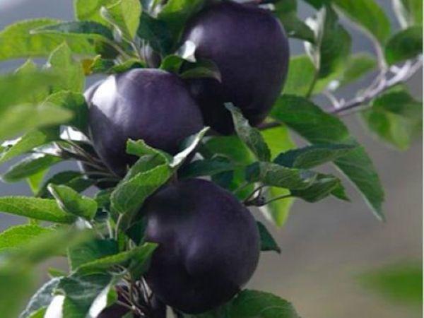 Редчайшие черные алмазные яблоки по цене $7,5 баксов за штуку